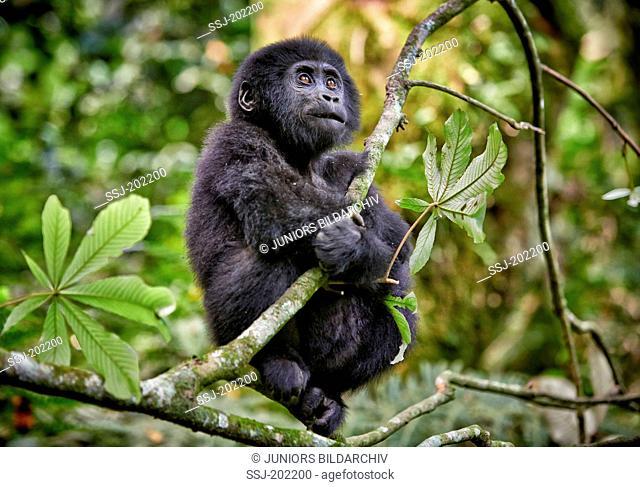 Mountain Gorilla (Gorilla beringei beringei) sitting in a tree. Bwindi Impenetrable National Park, Uganda