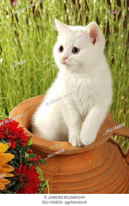 British Shorthair - kitten in flowerpot