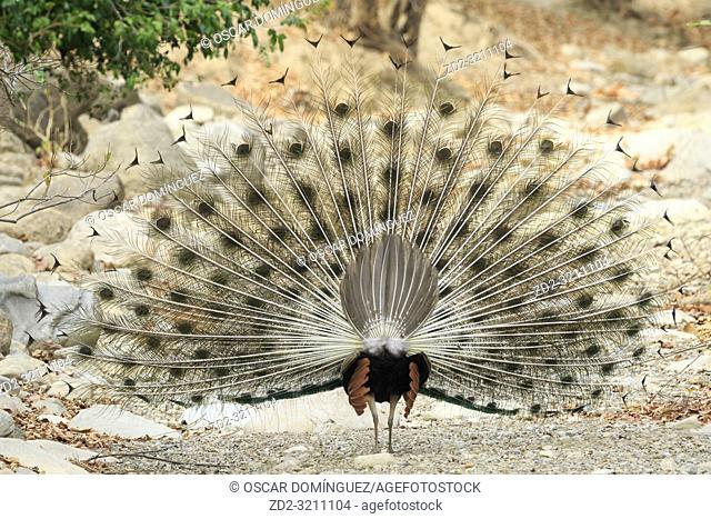 Male Indian peafowl (Pavo cristatus) displaying. Corbett National Park. Uttarakhand. India