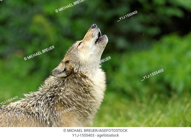 Howling timber wolf, Canis lupus