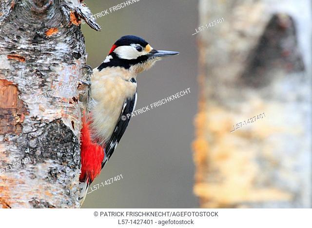 Great Spotted Woodpecker,Buntspecht, Dendrocopos major, Scotland