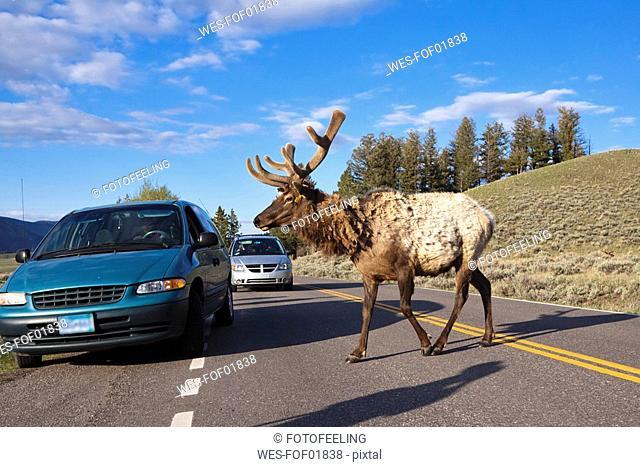USA, Yellowstone Park, Elk Cervus canadensis crossing road