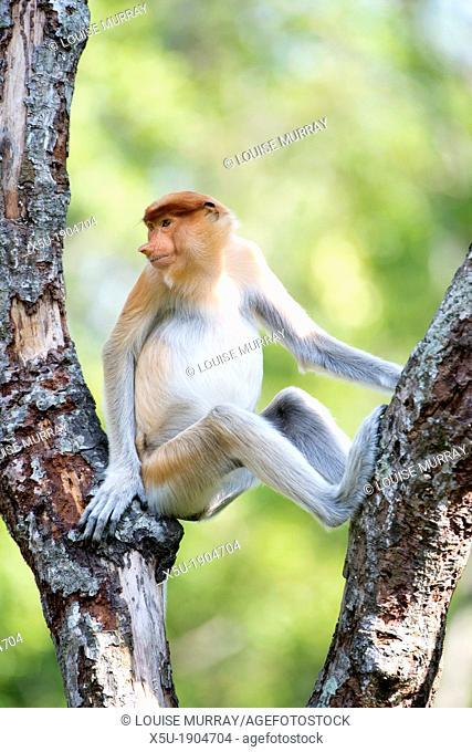 Juvenile male proboscis monkey  These leaf eating monkeys are endemic to Borneo