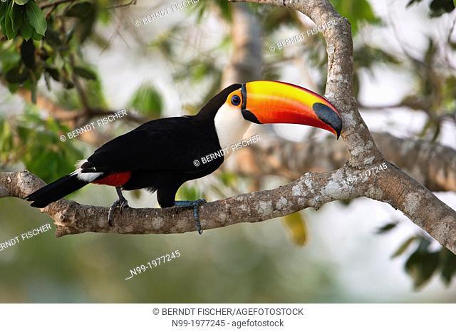 Toco toucan (Ramphastos toco), Pantanal, Brazil