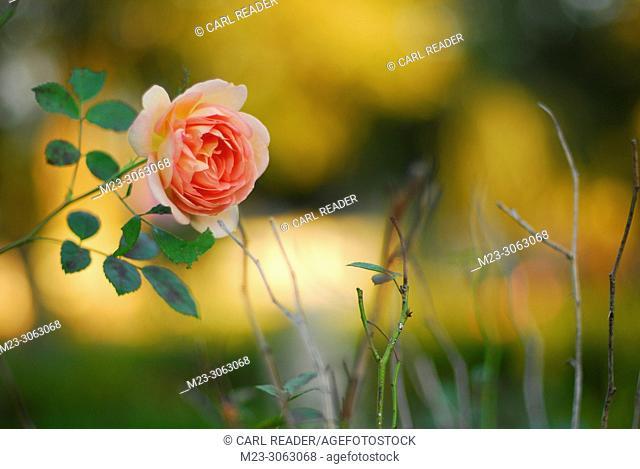 Sunrise backs a single rose in soft focus, Pennsylvania, USA