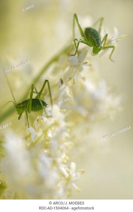 speckled bush crickets, Leptophyes punctatissima, on black elder, Sambucus nigra, Europe