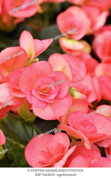 Begonia Begonia elatior 'Netja Dark'
