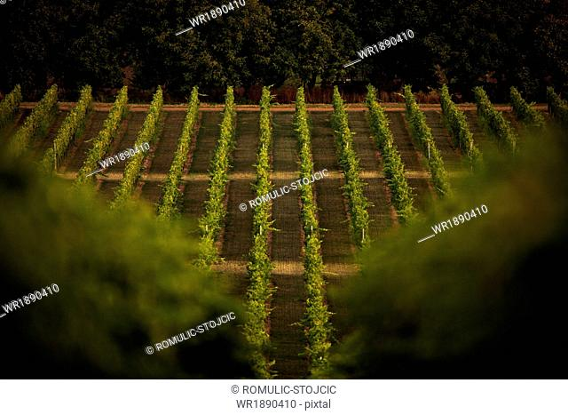 Vineyard, Baranja, Croatia, Europe