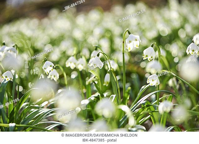 Spring snowflakes (Leucojum vernum) flowering, Bavaria, Germany, Europe