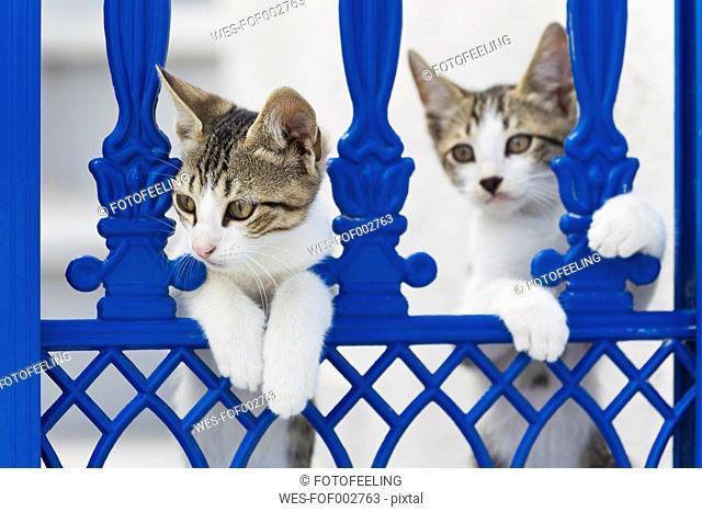Europe, Greece, Cyclades, Thira, Santorini, Oia, Kittens watching through fence