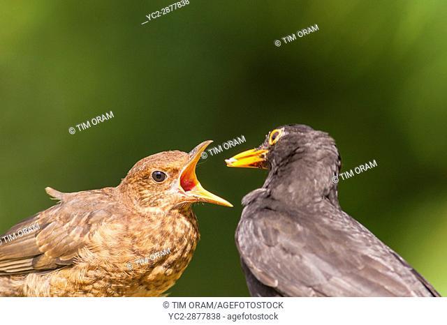 A male Blackbird (Turdus merula) feeding its young in the Uk