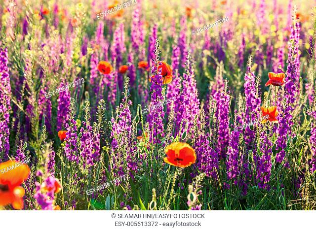 Field of violet lavender and red poppy flowers on morning light
