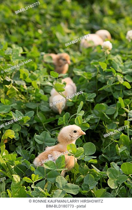 Chicks standing in foliage