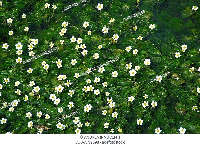 Ranunculus fluitans, River water crowfoot