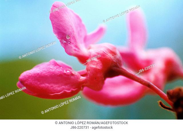 Mediterranean Redbud (Cercis siliquastrum)
