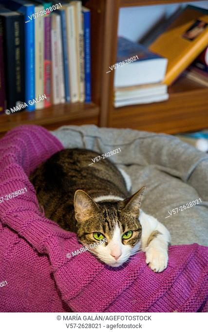 Tabby and white cat lying on his bed at home