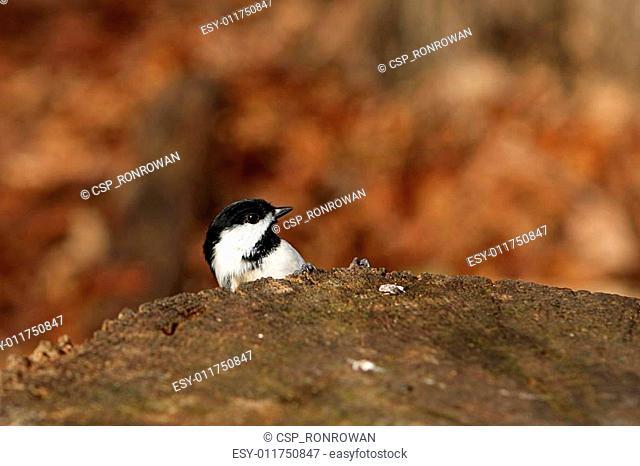 Black-capped Chickadee Peek-a-boo