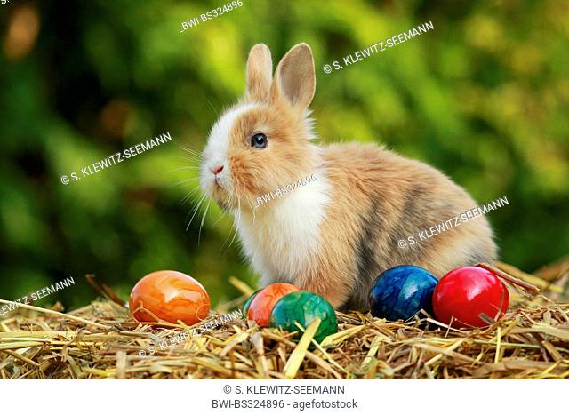 Lionhead rabbit (Oryctolagus cuniculus f. domestica), sitting on straw with colourfully painted hen's eggs, Germany