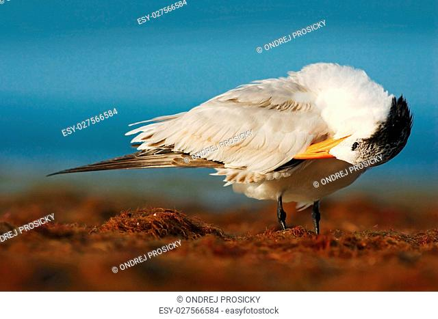 Bird cleaning plumage. Tern in the water. Royal Tern