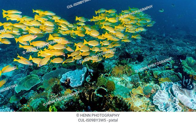 School of Bluestriped Snapper, Lutjanus kasmira (latin) off the coast of Komodo Island, Nusa Tenggara Timur, Indonesia