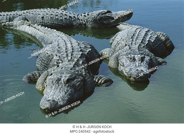 American Alligator Alligator mississippiensis, three large adults laying in shallow water, Florida