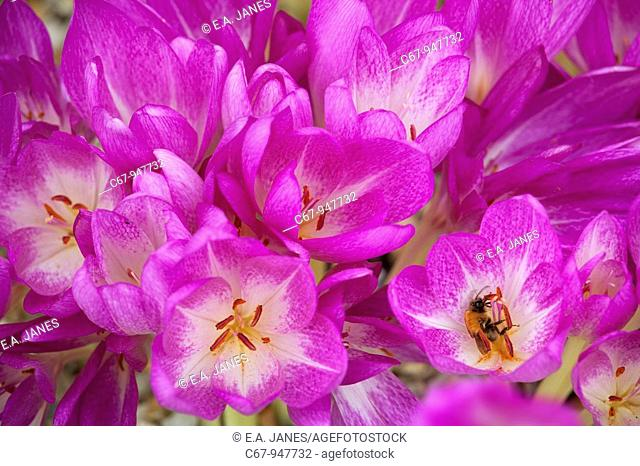 Autumn Crocus Gracia