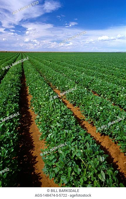 Agriculture - Large field of healthy, mature peanut plants / Plains, Texas, USA