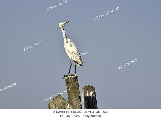 Egrets in the banks of Brahmaputra river