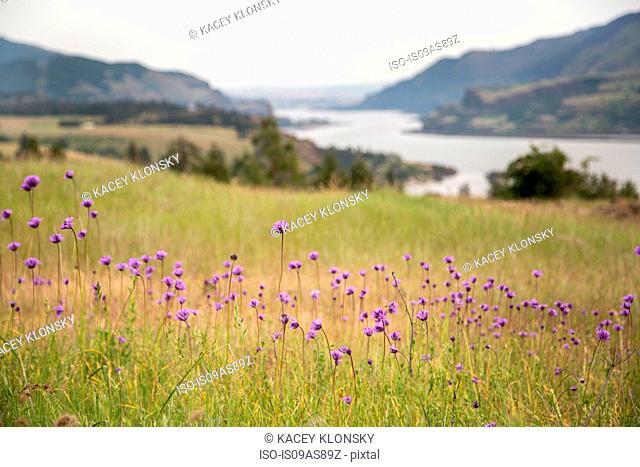 Wild flowers growing, Catherine's Ridge, Columbia River Gorge, Oregon, USA