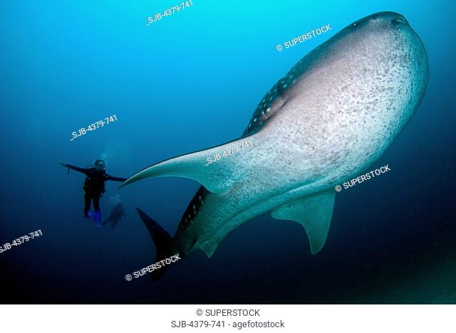 A diver swimming side by side with a whale shark Rhincodon typus, the largest fish in the sea, South Ari Atoll, The Maldives