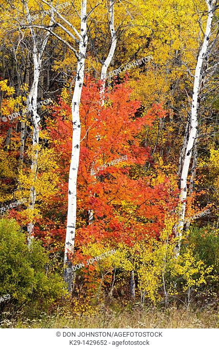 Red maple in autumn colour among aspen trees Greater Sudbury Ontario