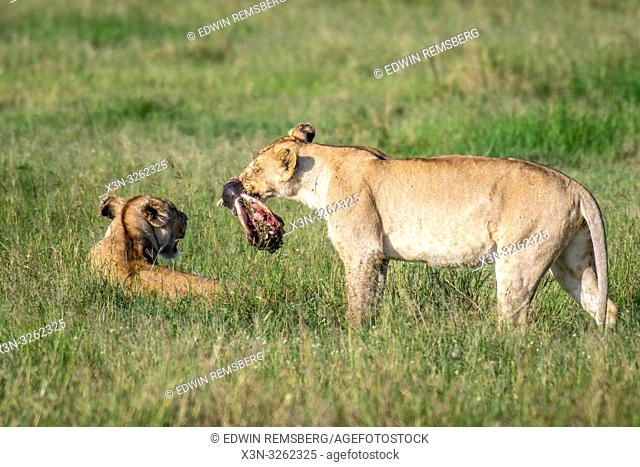 A female lion (Panthera leo) in the grass with meat in Maasai Mara National Park, Kenya, Africa