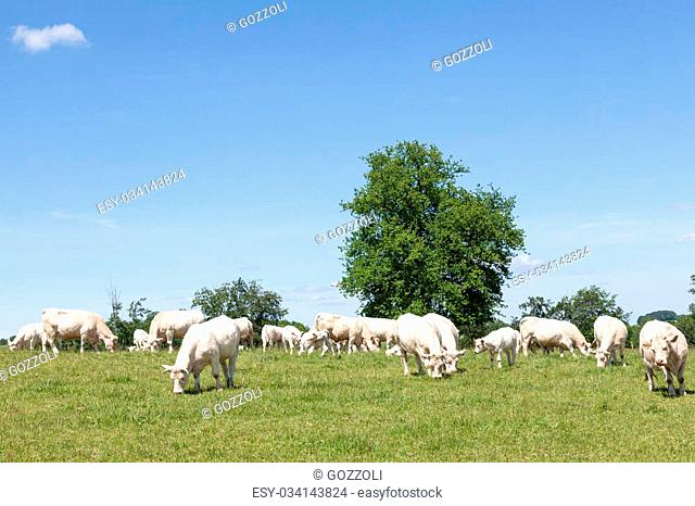 Breeding herd of white Charolais beef cattle grazing in a pasture with cows and calves on a sunny spring day