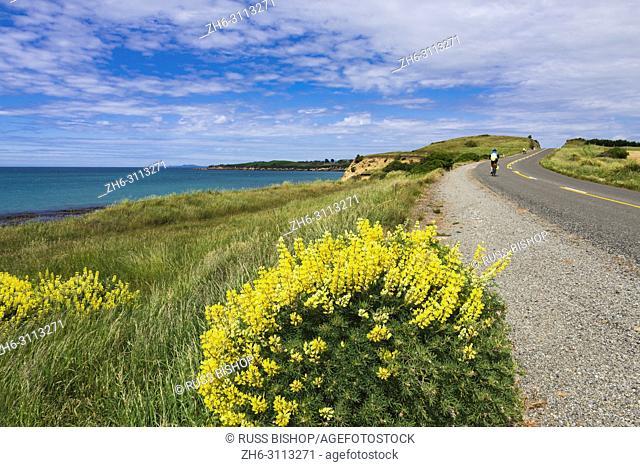 Cyclists and lupine on the Otago Coast, Kakanui, Otago, South Island, New Zealand