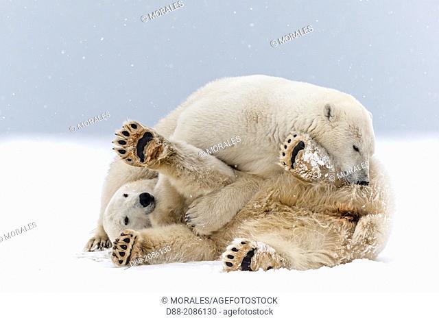 United States , Alaska , Arctic National Wildlife Refuge , Kaktovik , Polar Bear( Ursus maritimus ) , subadults playing along a barrier island outside Kaktovik