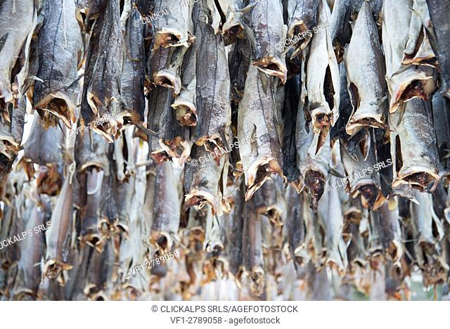 Detail of stockfish, called also cods, on the traditional norwegian scaffolding; Norway, Lofoten Islands