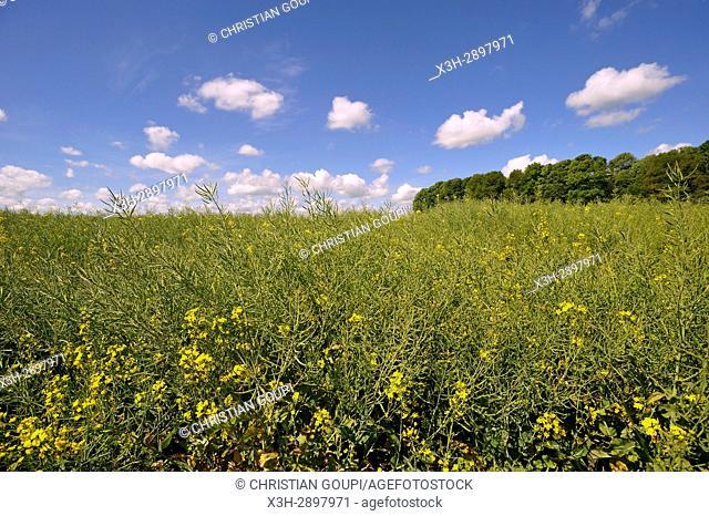 rapeseed field, Centre-Val de Loire region, France, Europe