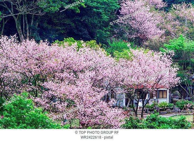 Sanzhi Sakura fam Yoshino Sakura