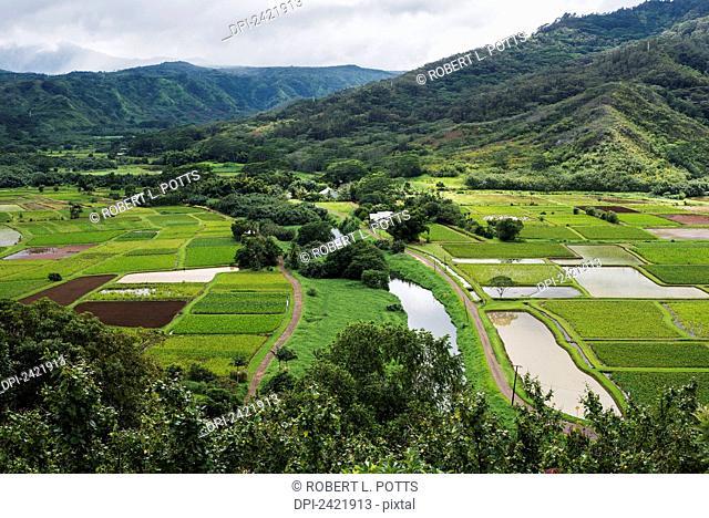 Taro is grown near Hanalei; Kauai, Hawaii, United States of America