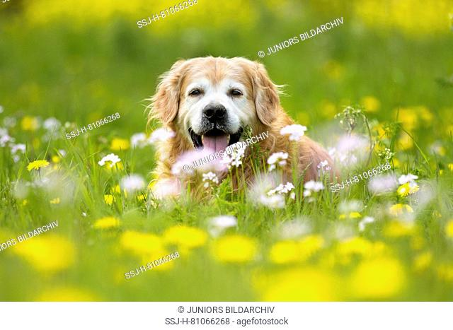 Old Golden Retriever lying in a flowering meadow. Netherlands