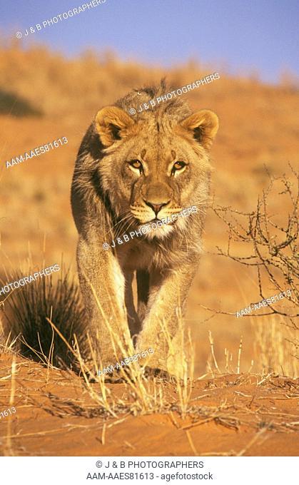 Lion (Panthera leo) Kalahari Gemsbok Park