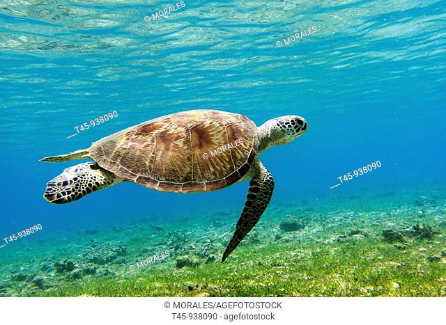 Green Turtle (Chelonia mydas), Mayotte, Comoros archipelago, France