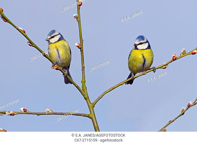 Blue tits Parus Caeruleus perched on sallow branch in garden against a blue-sky