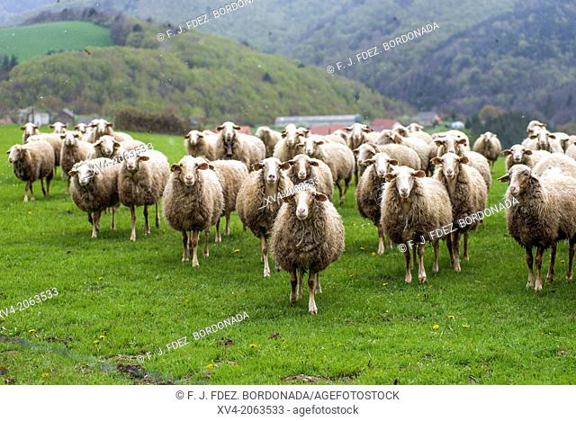 Livestock at Salazar Valley, Navarre, Spain