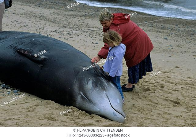 Cuvier's Beaked Whale Ziphius cavirostrisinga Adult and child looking at stranded whale - Ostend, Norfolk