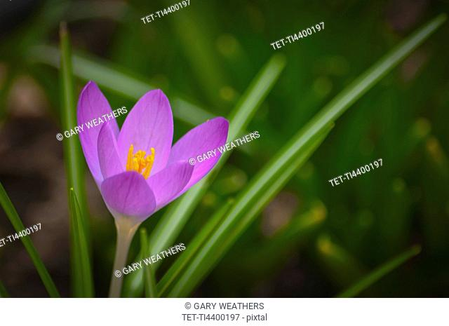Oregon, Close-up of purple Crocus growing on field