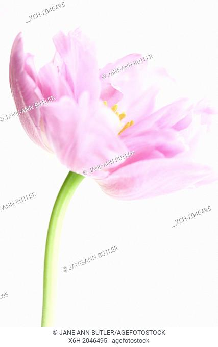 lilac perfection tulip still life, freeflowing and ethereal pure and fresh on a white background