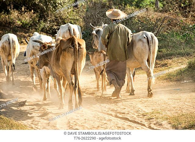 Farmer with his cattle, Chin State, Myanmar