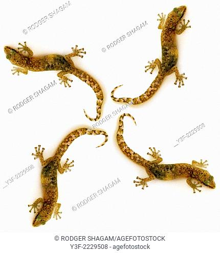 A montage of 4 young geckos forming a geometric pattern
