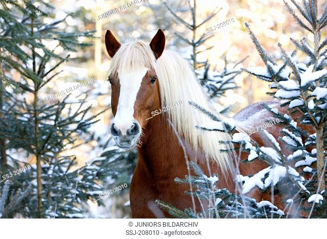 Black Forest Horse. Gelding standing among snow-covered spruces. Germany